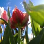 tulipe-oiseau